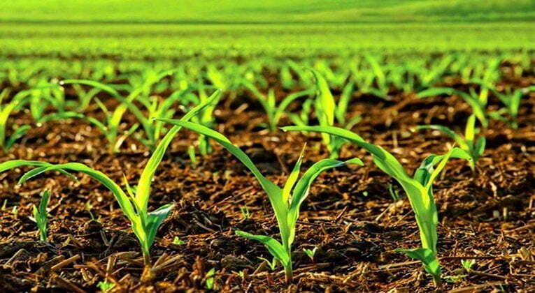 Кукурудза страждає від нестачі калію?